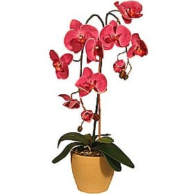 Orchid Phalaenopsis in Pot - 2 Stems