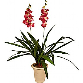 Deep Pink/White Double Stem Orchid